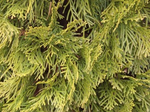 Arborvitae Landscape Tree in Eugene Oregon