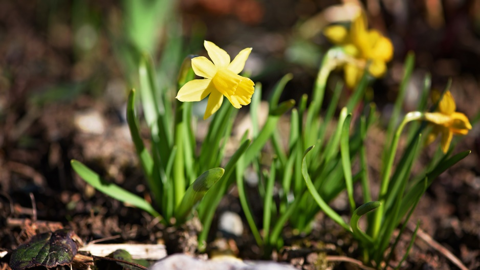 Spring flowers living concepts landscape eugene or this early spring bulb brings delight to your flowerbed with its trumpet like center surrounded by its chorus of petals this flower doesnt just call for mightylinksfo